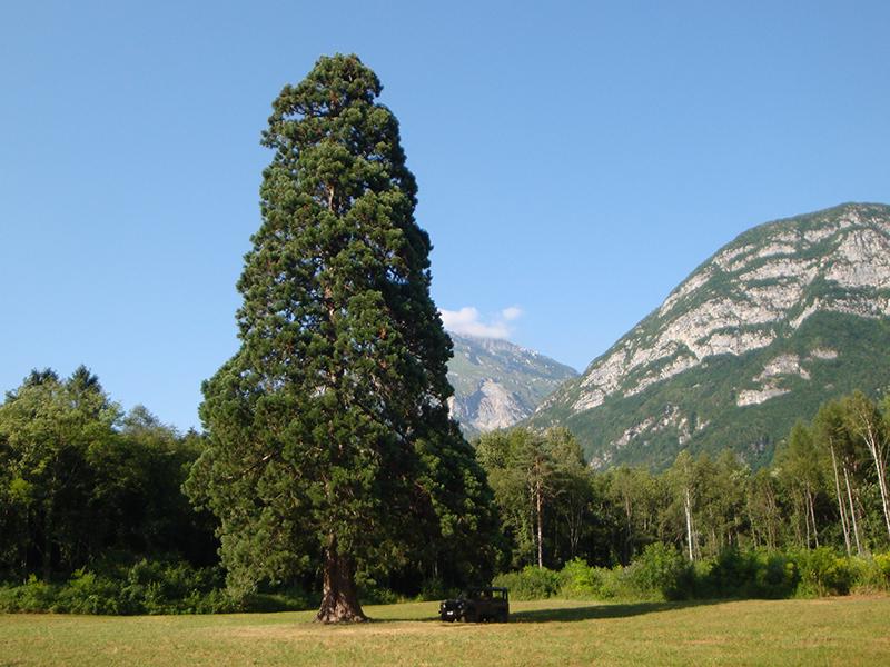 La_sequoia_gigante_di_Longarone__Belluno_